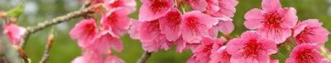 cropped-cerejeira7.jpg